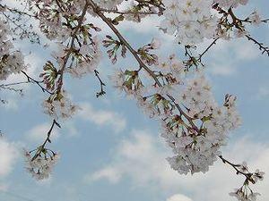 Sakuras_2